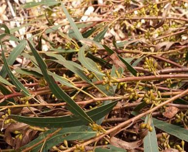 Eucalyptus Smitii rameaux